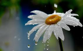 Flower Pictures Rain Flower Wallpaper Hd Download For Desktop U0026 Mobile