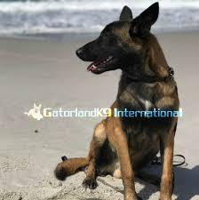 belgian sheepdog for adoption belgian malinois
