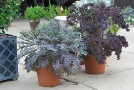 fall container plantings ornamental kale dirt simple