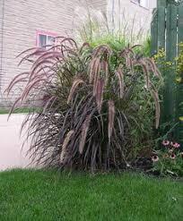 jet streams pas grass cortaderia selloana pumila compact