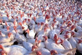 turkey genetics 101 dna science
