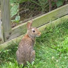 do rabbits get a bad rap your small kitchen garden garden