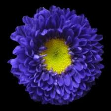 Discount Flowers Bulk Discount Flowers Purple Matsumoto Asters