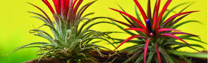 Outdoor Potted Plants Full Sun by Best Bromeliads For Full Sun Bromeliads Info