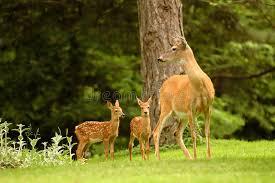 deer family stock photo image 1764800