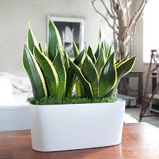 indoor plants singapore 14 plants that are alternatives to air purifiers home decor