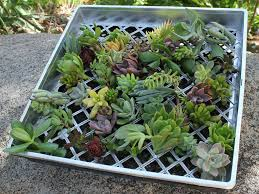 secrets to success when propagating succulent plants world of