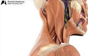 Human Anatomy Male Medical Anatomy Software Pocketanatomy