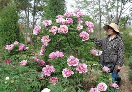 of china tree the chairman of china herbaceous peony association