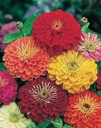 zinnias flowers zinnia is lasting cut flower gardening