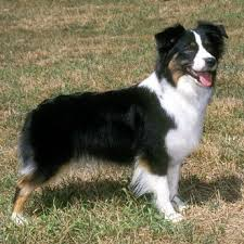 australian shepherd and border collie best 25 border collies for sale ideas only on pinterest cute