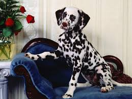 cute dog christmas wallpapers dalmatians dogs and christmas goog looking dalmation wallpaper
