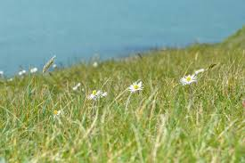 wild flowers in wild meadows free images water nature blossom plant white field lawn