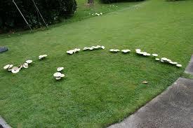 mushrooms in lawn u2013 fairy ring disease walter reeves the