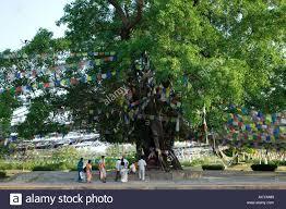 the sacred bodhi tree lumbini birthplace of lord buddha nepal