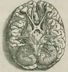 Which Part Of The Brain Consists Of Two Hemispheres Human Brain Wikipedia