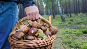 Bad Herrenalb Wetter Pilzaison Hat Begonnen Und Verspricht Gut Zu Werden