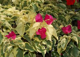 grow bougainvillea vines for mediterranean flavor