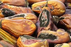 Squash Plant Diseases Pictures - common diseases of tomato pepper eggplant and potato