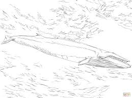 sei whale coloring page free printable coloring pages