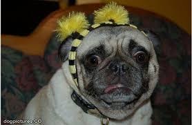 Confused Dog Meme - confused pug dog pictures