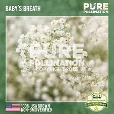 baby s breath baby s breath seed packet pollination