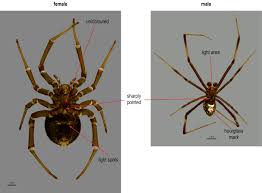 Male Spider Anatomy Theridiidae Key