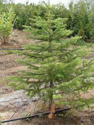 alpine fir and mountain hemlock
