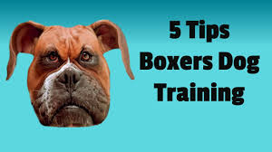 3 month boxer dog boxer dog training 101 5 basic tips to train your boxer youtube