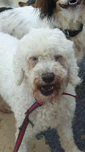 4 year old bichon frise cloud u2013 4 5 year old female bichon frise dog for adoption