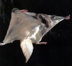 mammiferi volanti il mistero degli scoiattoli volanti pikaia