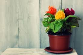 How To Revive Flowers In A Vase How To Grow Celosia Growing And Planting Guide