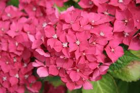 pink hydrangea hydrangea how to plant grow and care for hydrangea shrubs the