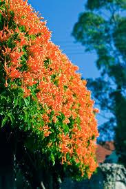 Non Invasive Climbing Plants - best climbing plants burke u0027s backyard