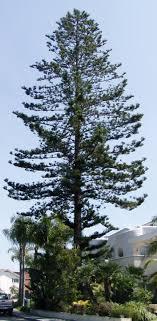 www geographylists norfolk island pine jpg
