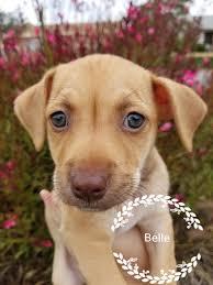 american eskimo dog rescue wichita ks jack chi dog for adoption in see website ca adn 545753 on