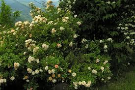 Achat Rosier Grimpant by Quelles Roses Pour Un Jardin De Montagne Jardin De La Quinta