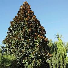 evergreen flowering trees trees bushes the home depot