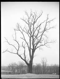 150 M To Feet Ernest Wilson U0027s New England Trees Arnold Arboretum