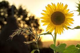 foto wallpaper bunga matahari sunflower images pixabay download free pictures