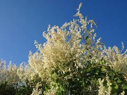 Plants For Pergolas by 14 Best Climbing Plants For Pergolas Arches Arbor Or Trellis