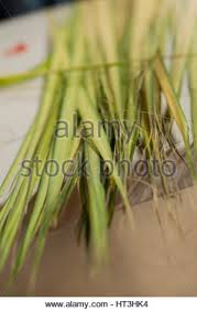 palm for palm sunday holy week palm sunday mass stock photo royalty free image