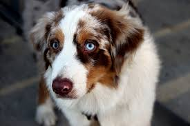 australian shepherd eye color genetics dogs with blue eyes causes dangers u0026 breeds