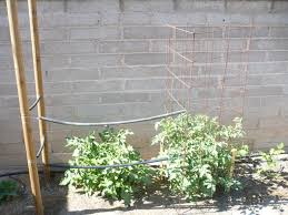tomato trellis librarian greens