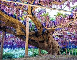 s ancient wisteria pictures pics express co uk
