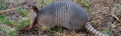 species profile nine banded armadillo dasypus novemcinctus