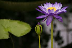 Purple Lillies Purple Lilies Fine Picture Free Stock Photos In Image Format Jpg