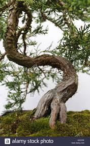 family garden chinese bonsai tree dr sun yat sen classical chinese garden vancouver