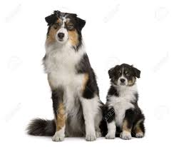 buy a australian shepherd two australian shepherd dogs 1 year old and a puppy of 8 weeks