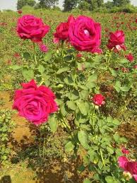 Multicolor Roses Multicolor Rose Plant At Rs 11 Piece Rose Tree Id 15564849388